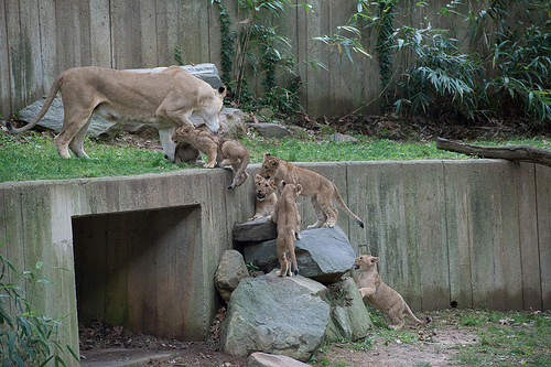 mother helps lion cubs up over a high ledge by scruffing them and picking them up in her mouth