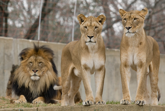 Naba, Shera, and Luke. Three lions  posing together