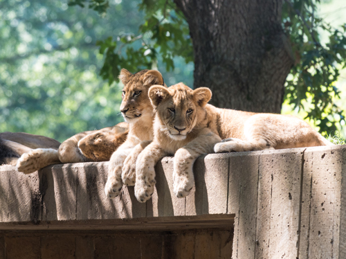 Lions on top of a cement structure