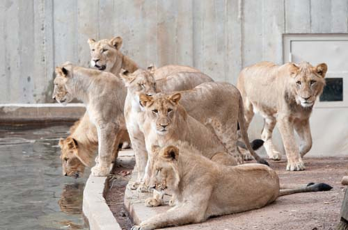 lions gathered at the pool