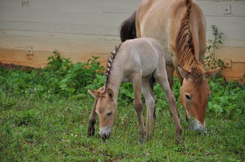 Przewalski's horse, Anne and her filly