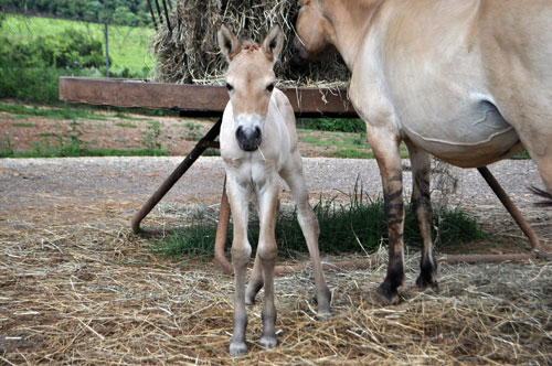 Przewalski's horse colt looks at camera as its mom eats hay from hopper