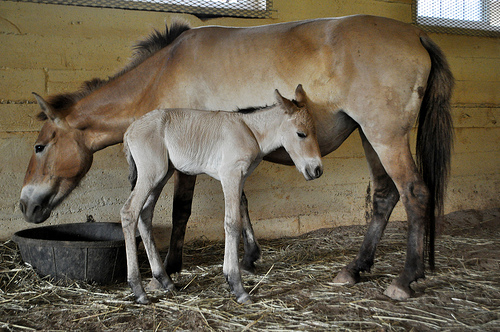 Przewalski's horse filly with mother