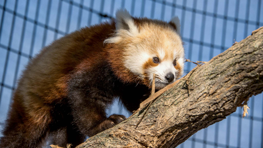 baby red panda climbs branch