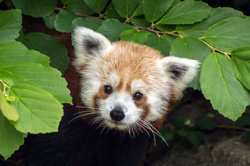 red panda peeks through leaves