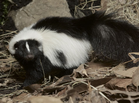 striped skunk on leaves