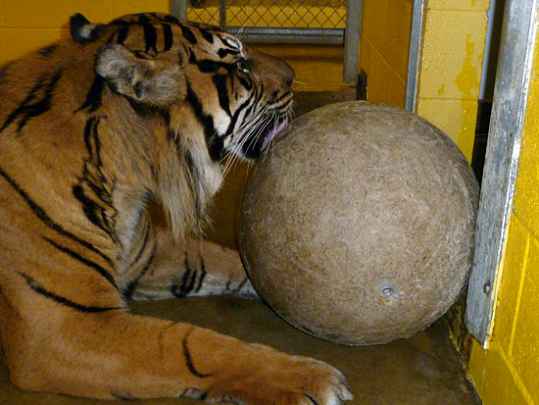 tiger plays with large ball