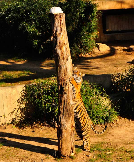 Tiger scratching tall tree stump in his yard. It is taller than he is.