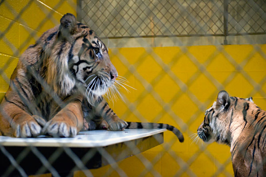 Sumatran tigers look at each other in behind the scenes pen