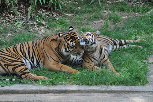 tiger snuggle with each other in the grass