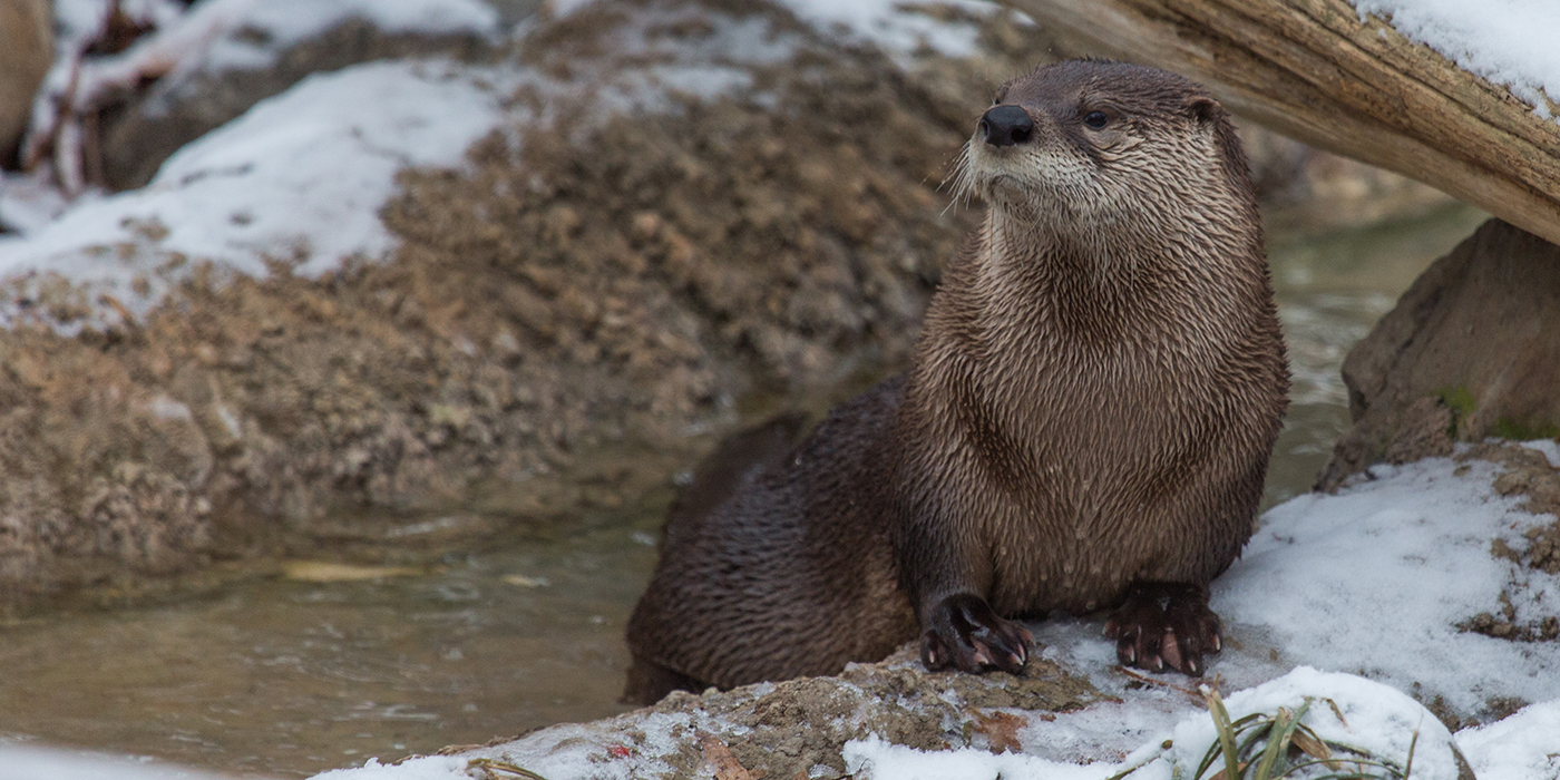 north-american-river-otter_649a8446.jpg