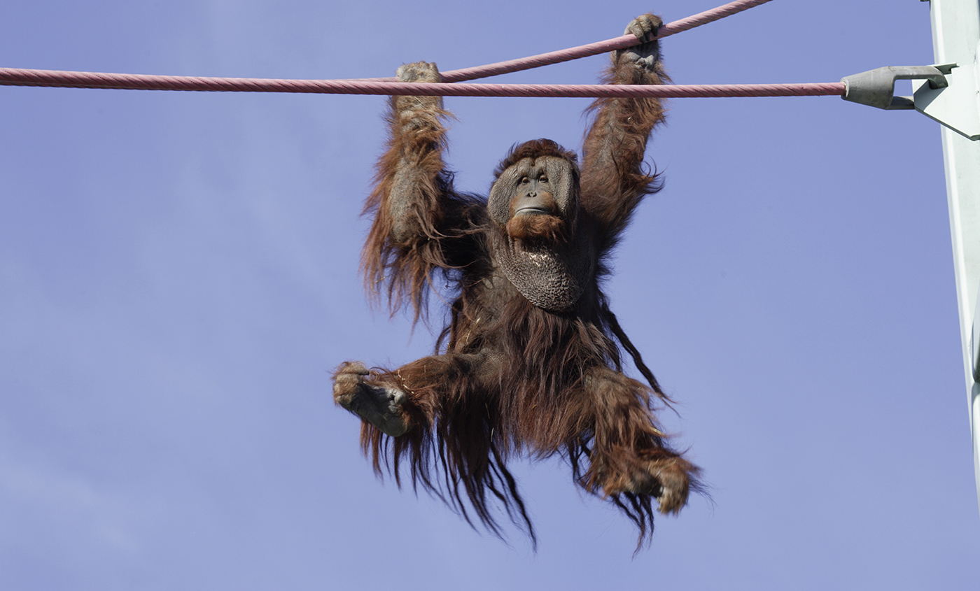 Special T Si >> Orangutan   Smithsonian's National Zoo