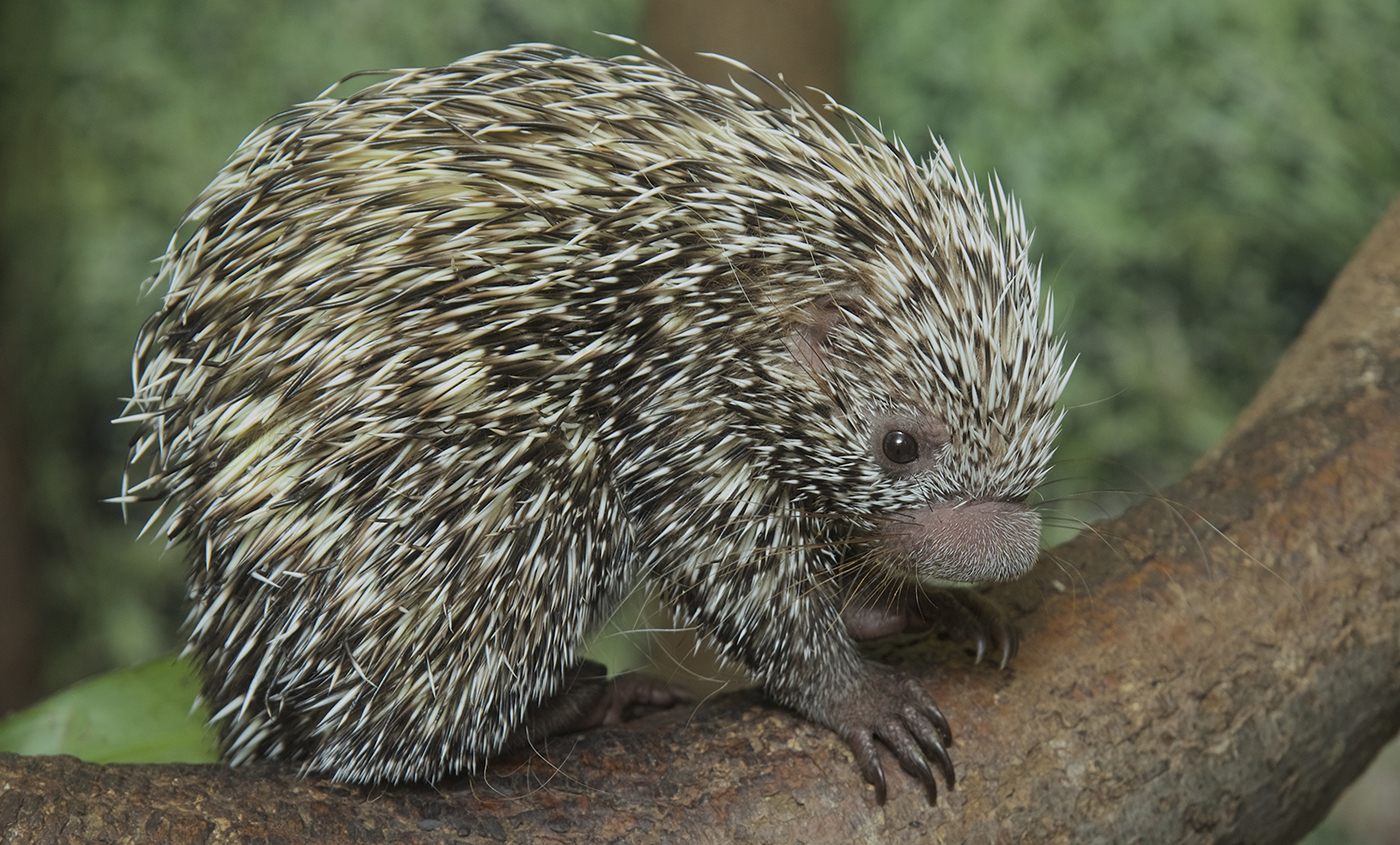Prehensile-tailed porcupine | Smithsonian's National Zoo