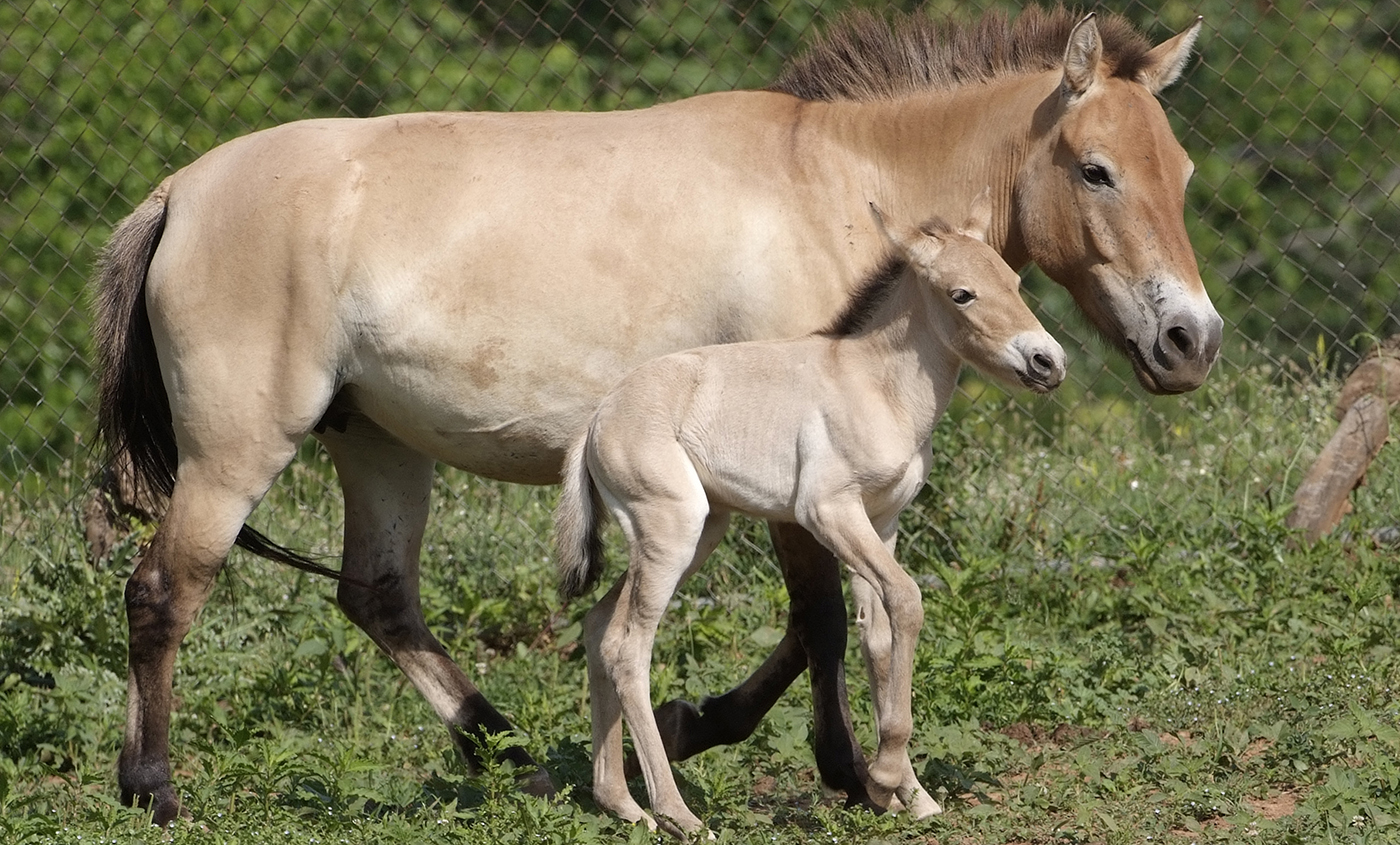 Przewalski's horse | Smithsonian's National Zoo