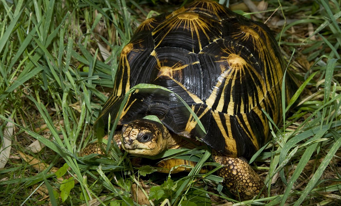 radiatedtortoise 002 radiated tortoise smithsonian's national zoo