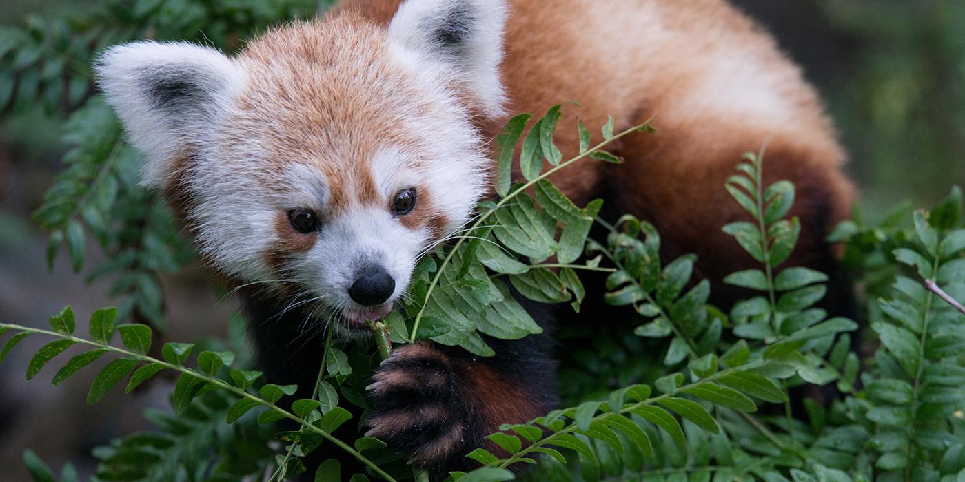 Red panda | Smithsonian's National Zoo