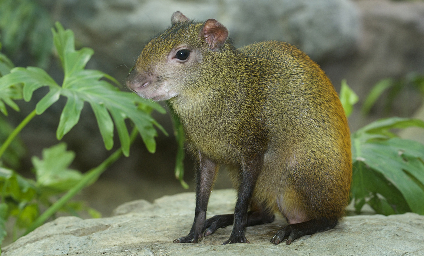 Red-rumped agouti | Smithsonian's National Zoo