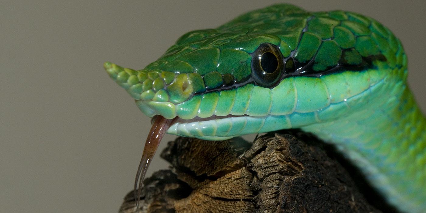 Rhinoceros snake | Smithsonian\'s National Zoo