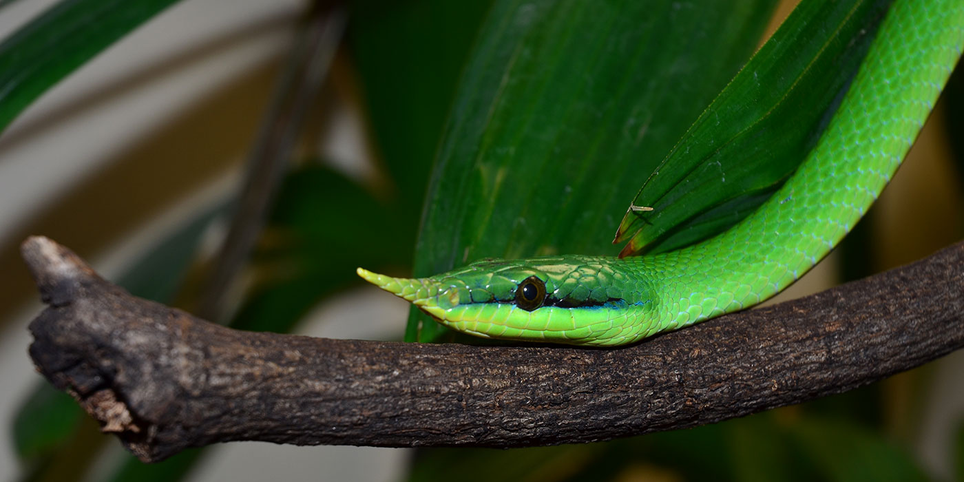 A close up of a green snake, called a rhinoceros snake, with a horn protruding from the tip of its nose slithers along a branch