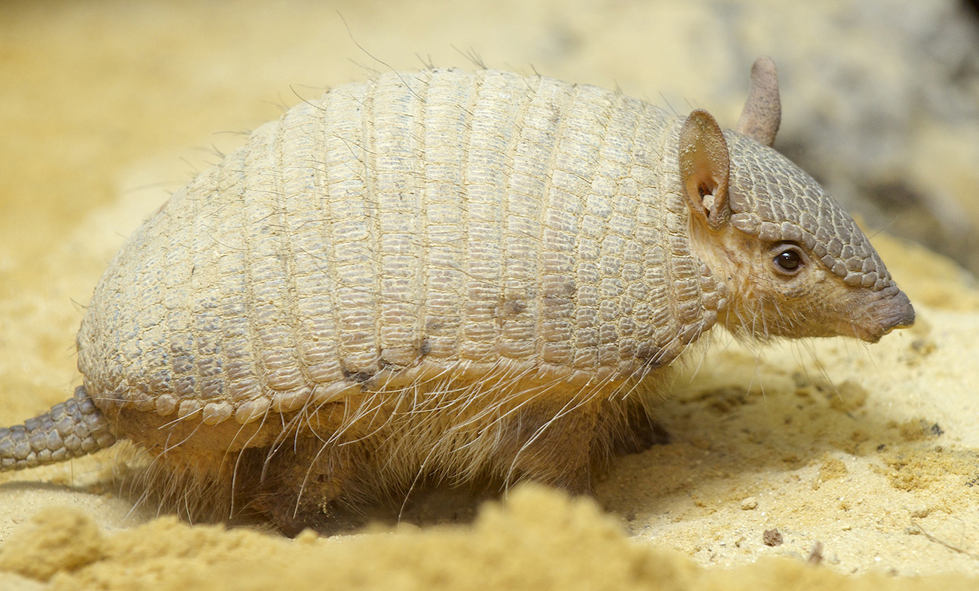 Screaming hairy armadillo | Smithsonian's National Zoo