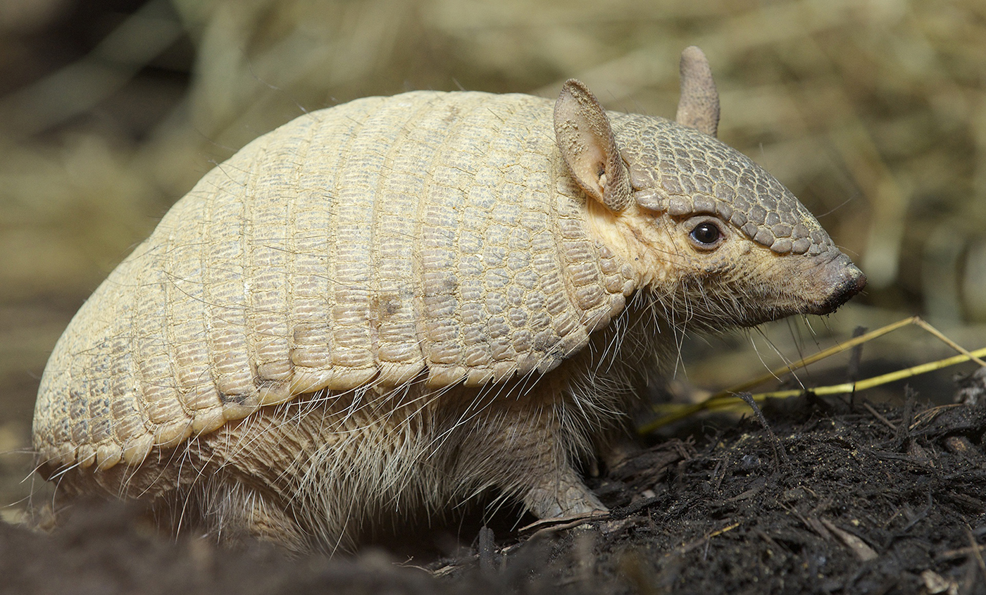Screaming Hairy Armadillo  Smithsonians National Zoo-8990