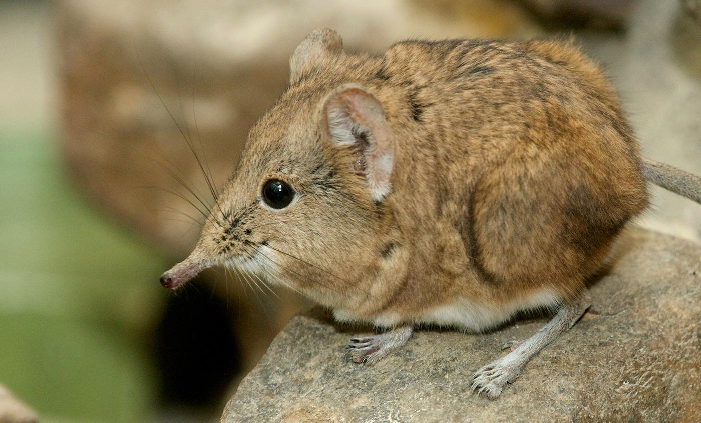 Image result for elephant shrew
