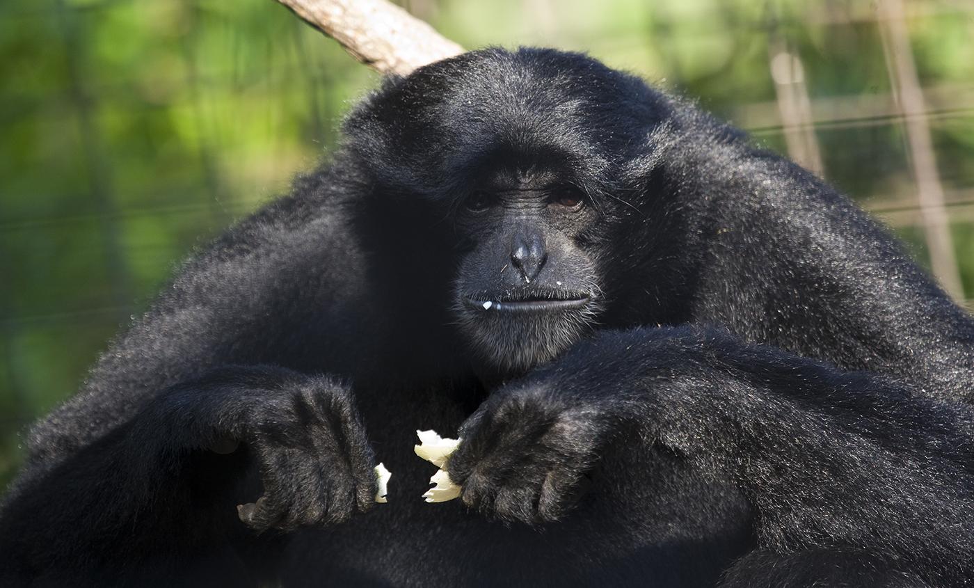Black monkey holding an empty eggshell