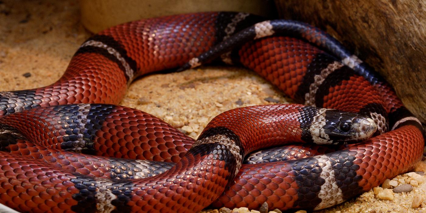 a sinaloan milk snake in the sand