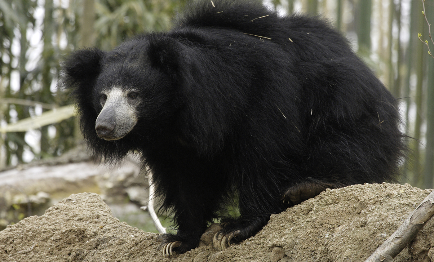 Sloth bear | Smithsonian\'s National Zoo