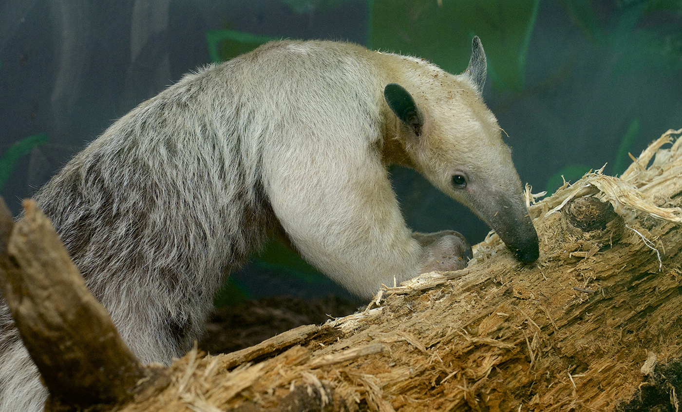 Pale-furred animal with a long snout