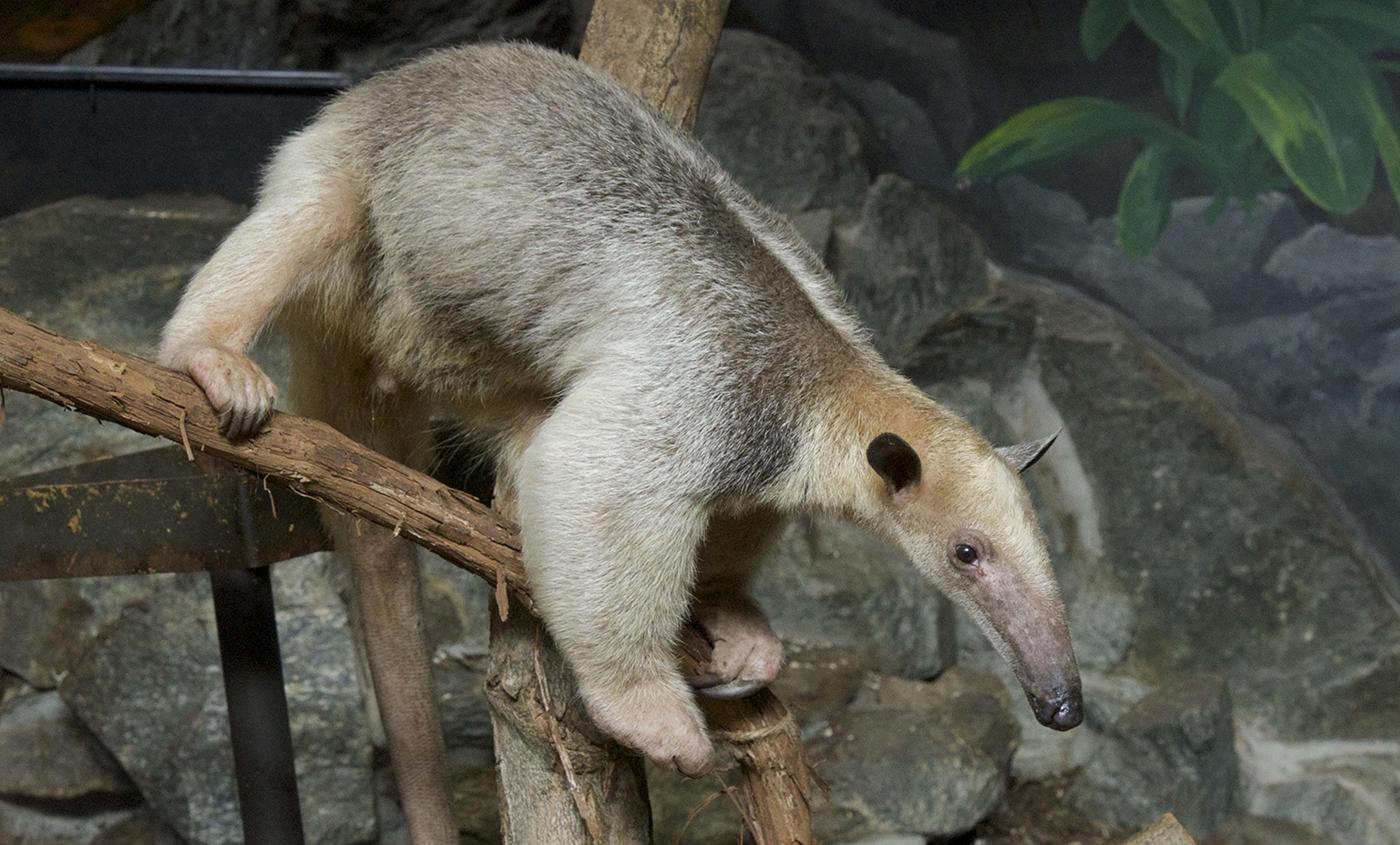 Southern Tamandua Smithsonian S National Zoo
