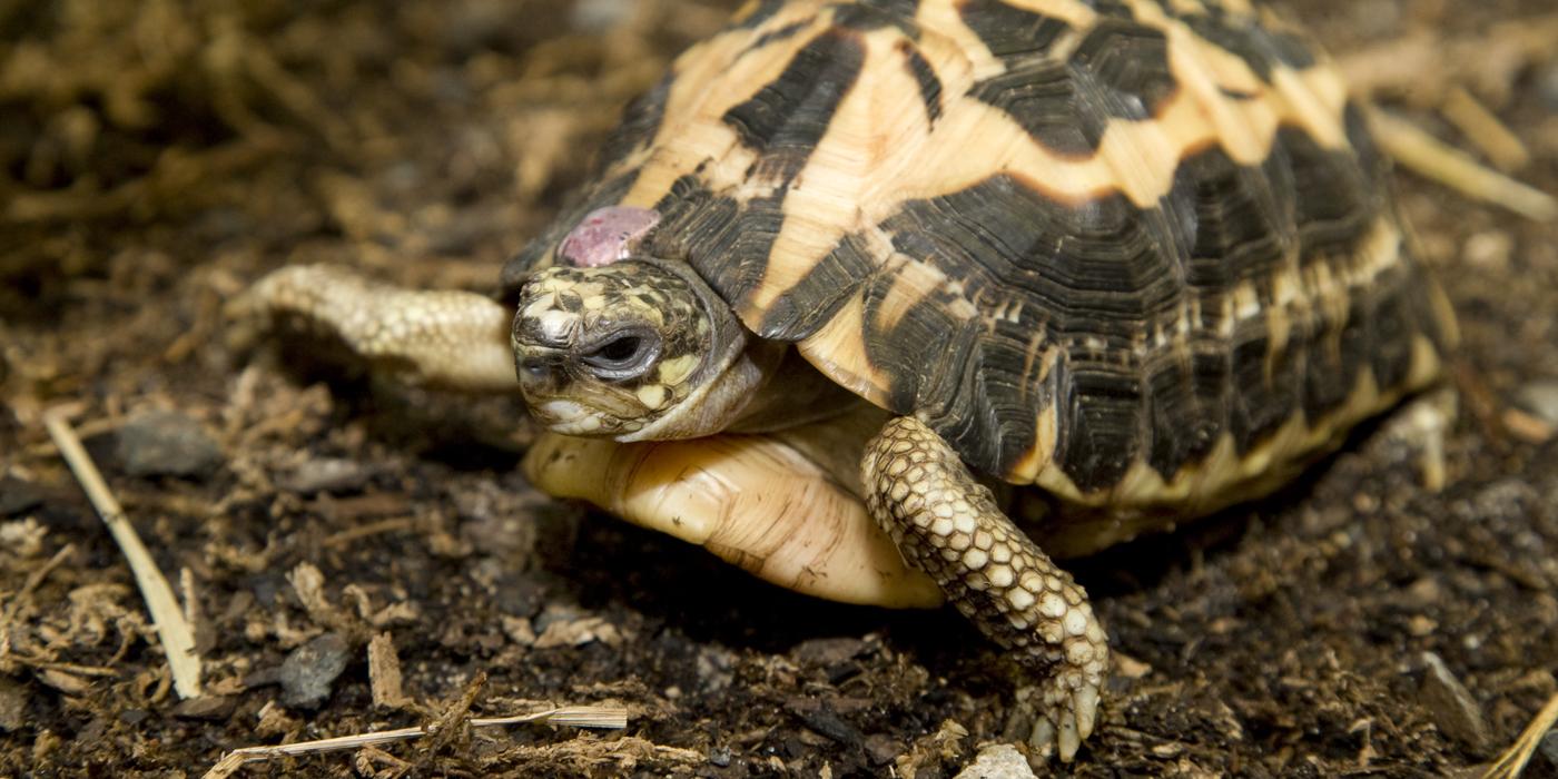 spider tortoise smithsonian s national zoo