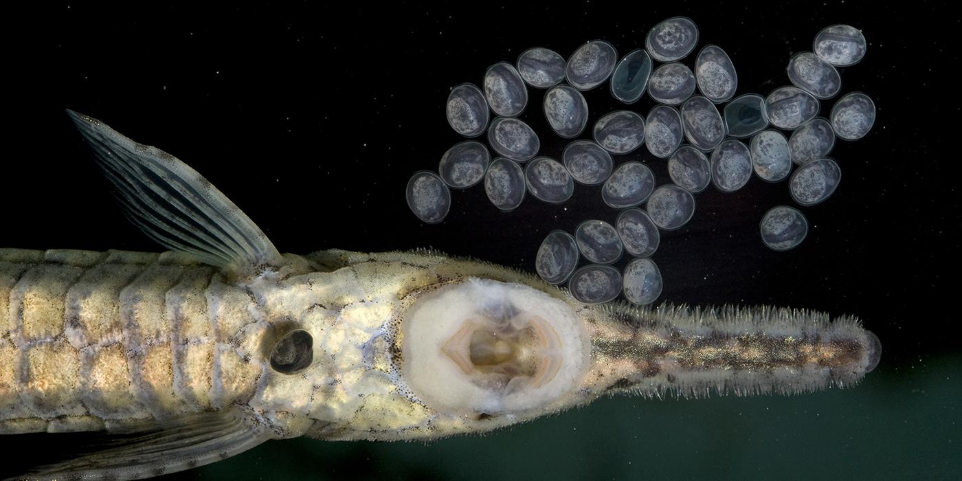 closeup of catfish head with eggs nearby