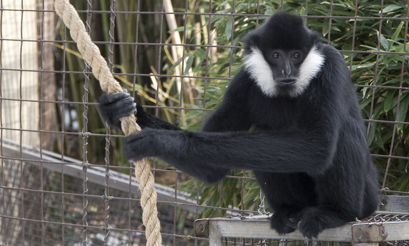 Black, long-armed ape with white cheek patches holding a rope in its long arms