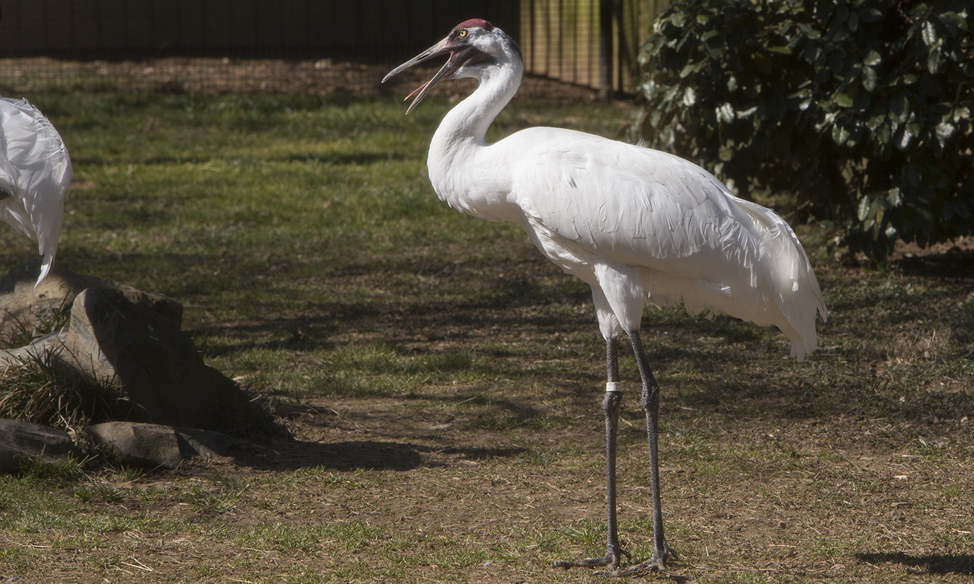 Long-necked, long-legged white bird standing. Its tail puffs out at the back.