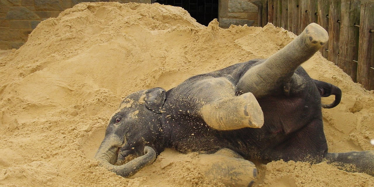 Asian elephant with sand enrichment