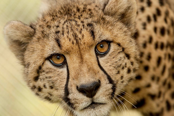 cheetah facing camera