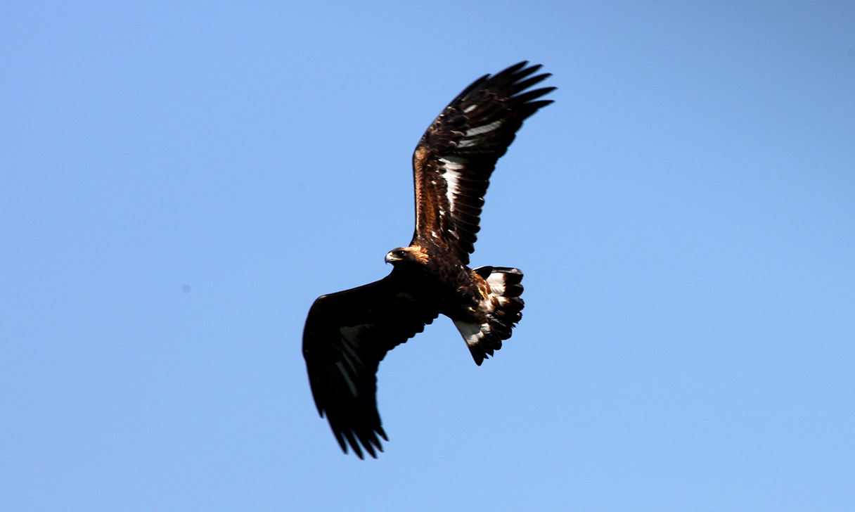 A golden eagle flying through the sky
