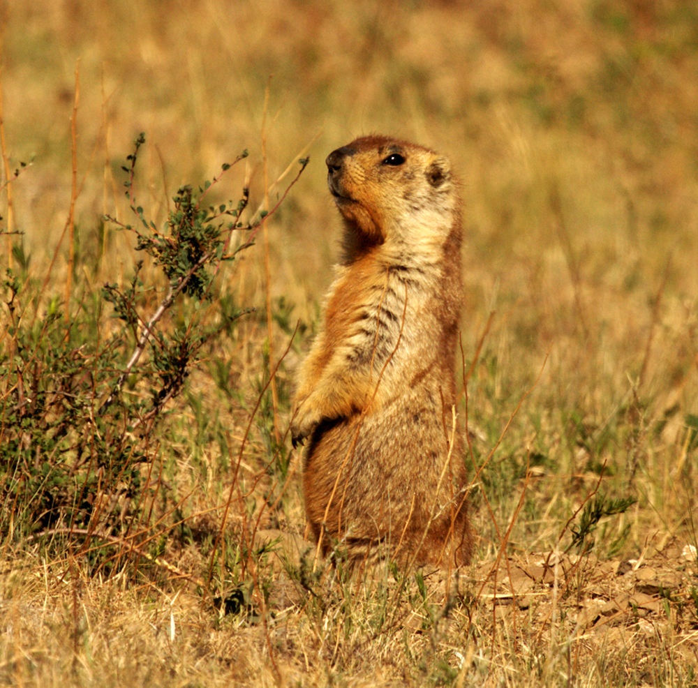 A marmot standing in grasses and shrubs in Mongolia