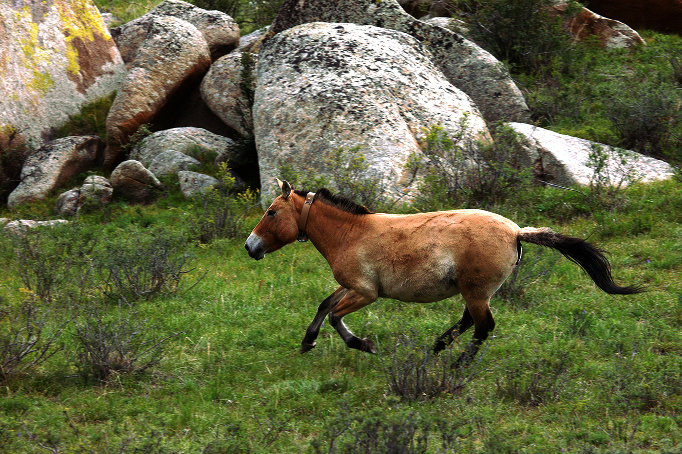 A Przewalski's horse, also called takhi, with a GPS collar running through the grass at Hustai National Park, Mongolia
