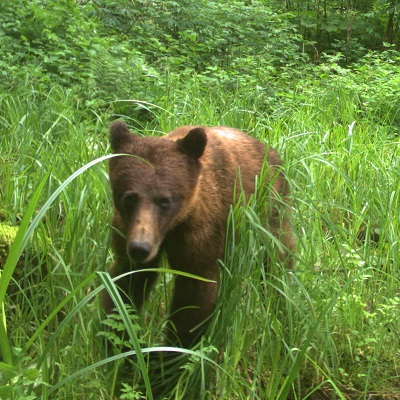 camera trap image of brown bear