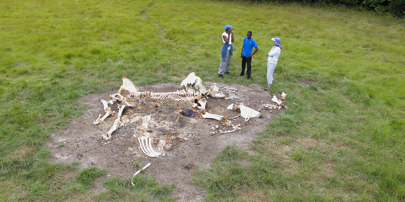 group standing around the bones of a dead elephant