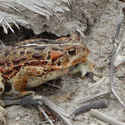 a western toad close-up