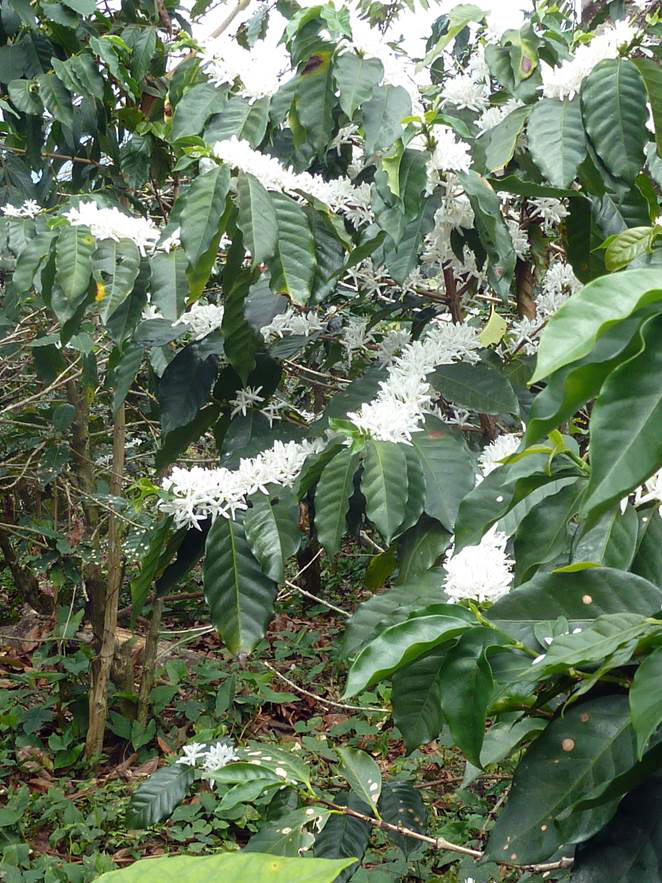 numerous white flowers along branches of coffee shrub