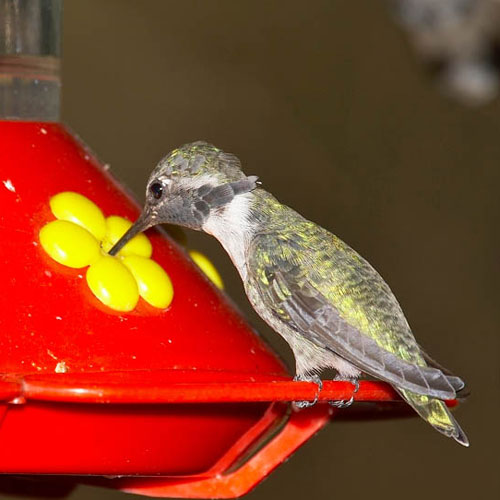 hummingbird getting sugar water at a plastic feeder
