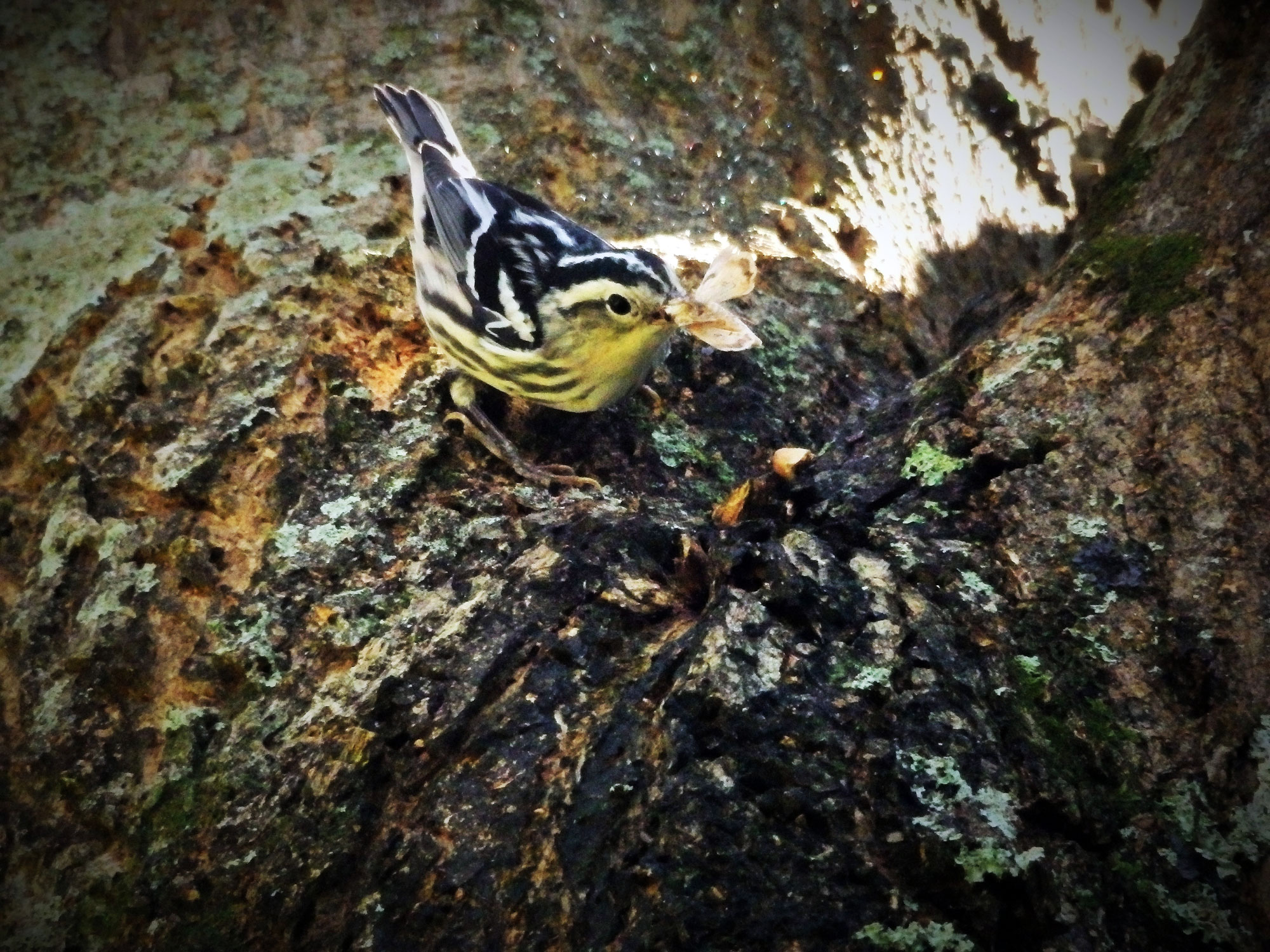 small black and white striped bird on tree trunk holding a moth in its beak