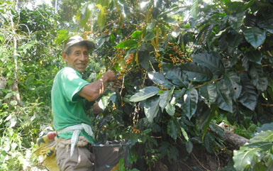 Mr. Concepción Illanes during the 2015 harvest, in his Bird Friendly coffee plot