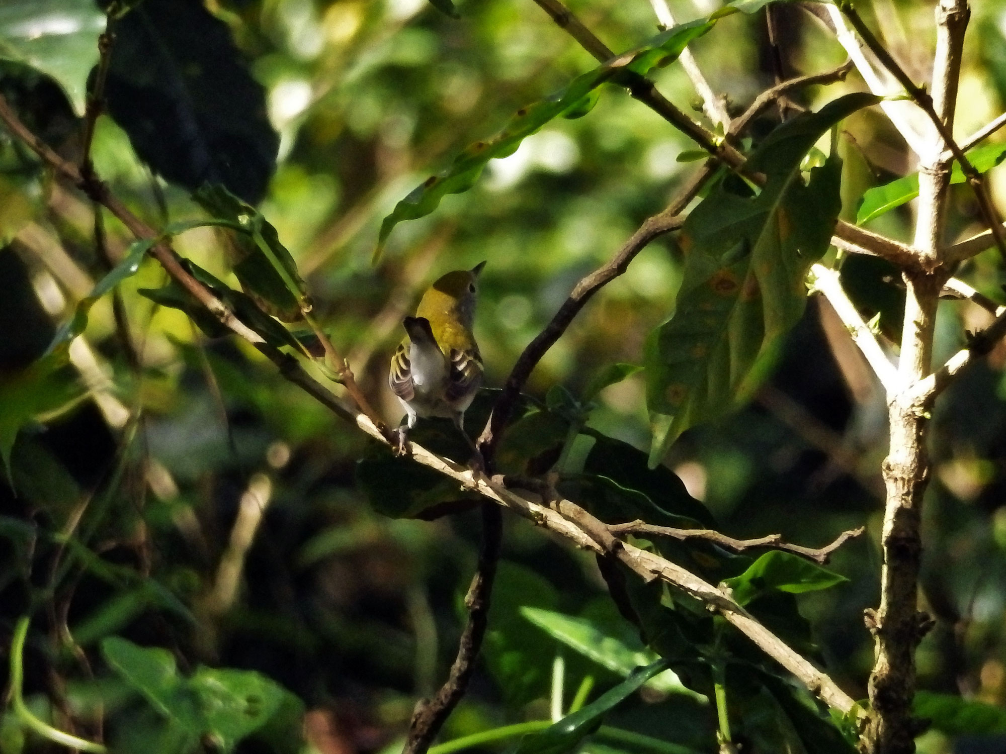 small olive-backed bird on branch in coffee shrub