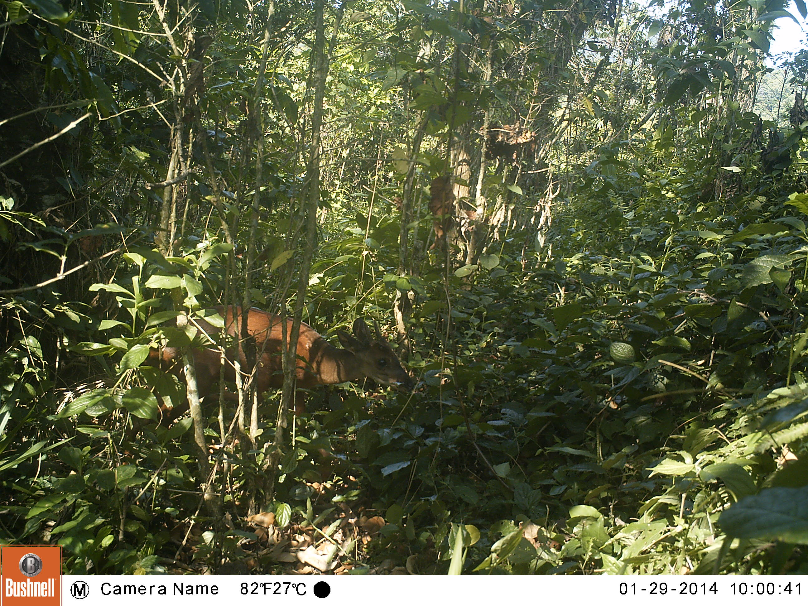 small brown deer in dense forest