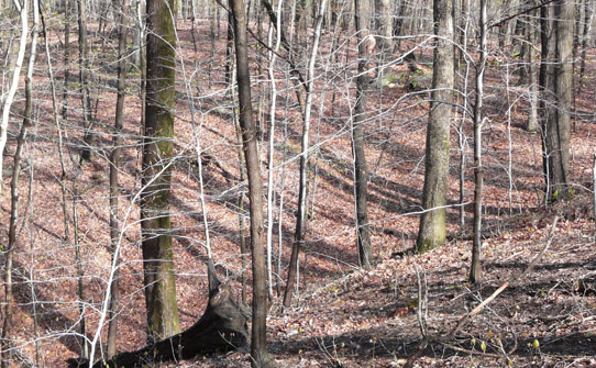 bare trees on a slope with dead leaves on forest floor